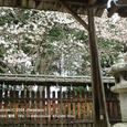 017 2008.04.06up 桜 ~Honkatata/本堅田038