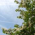 135 2011.06.01up tree・flower/木・花 039 青空の下で咲いていた白い花、オオデマリ(テマリバナ)