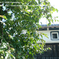 033 2008.09.06up 2010.08.21up tree・flower/木・花013 柿の木