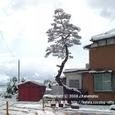 002 2008.02.10up tree・flower/木・花002 堅田漁港入り口の松