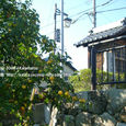 036 2008.10.11up Honkatata/本堅田115 宮ノ切の柿の木