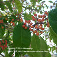 094 2010.10.22up tree・flower/木・花 028 クロガネモチの赤い実