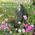 038 2008.10.22up Honkatata/本堅田121 おとせの石とコスモスの花