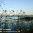 095 2010.10.23up Honkatata/本堅田320 コスモスの花。琵琶湖の向こうに近江富士(三上山)