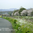 022 2008.04.11up 桜 ~Tenjingawa Green belt/天神川緑地001