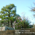 039 2008.11.08up tree・flower/木・花014 松の木とコスモスの花、桜の木