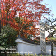 099 2010.11.27up Honkatata/本堅田329 大きな大きなモミジの木