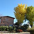 140 2012.11.27up tree・flower/木・花 044 イチョウの黄色、クスノキの緑、サクラとドウダンツツジの赤