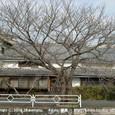 042 2008.12.28up tree・flower/木・花017 冬の桜の木