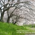 023 2008.04.12up 桜 ~Imakatata/今堅田010