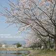 024 2008.04.14up 桜 ~the most beautiful place 018