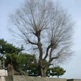 001 2008.01.18up tree・flower/木・花001 柳の木