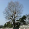 006 2008.03.19up tree・flower/木・花005 柳の木・初春