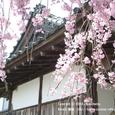 028 2008.04.24up Honkatata/本堅田046 都久生須麻神社 の枝垂桜