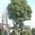 011 2008.03.27up tree・flower/木・花006