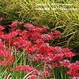 138 2012.10.01up tree・flower/木・花 042 田んぼの畦道に一面に咲いていた彼岸花