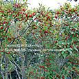 139 2012.10.05up tree・flower/木・花 043 赤く熟したウメモドキの果実 Japanese winterberry