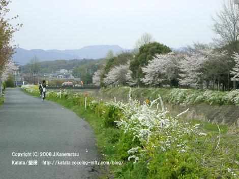 淡い色の花が満開の天神川。その脇の道を、自転車に乗った青年が通り過ぎていった。