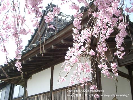 神社をバックに満開の枝垂桜が咲く。鮮やかなピンク色。