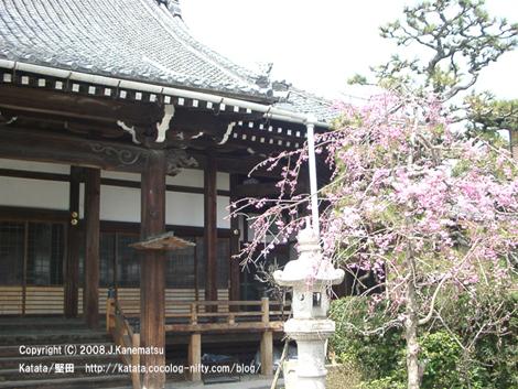 光徳寺の本堂。桜が咲いている。