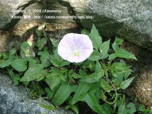 ヒルガオの花