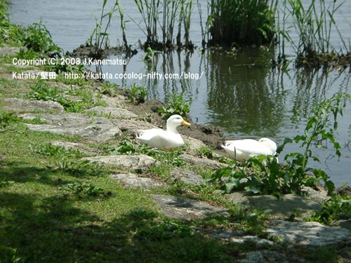 琵琶湖の水辺に2羽のアヒル