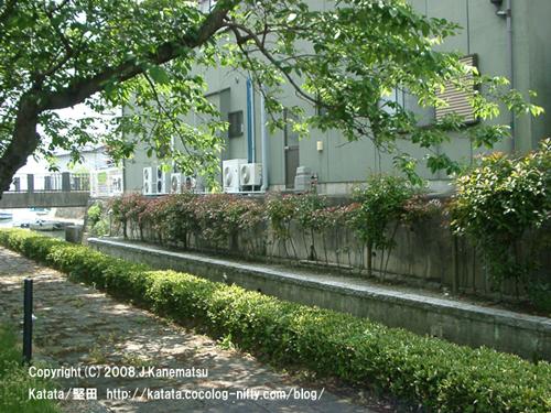 琵琶湖につづく水路と桜並木