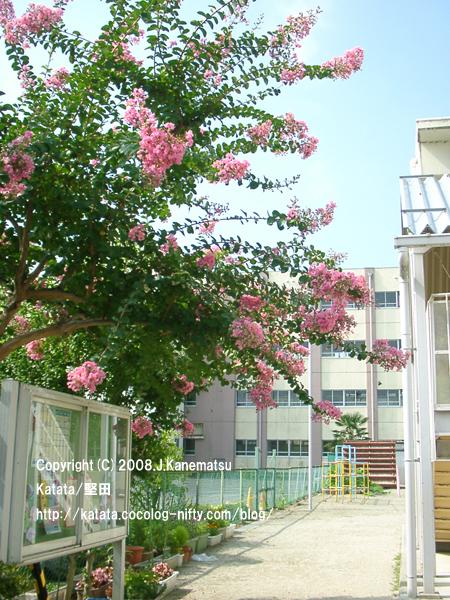 幼稚園の敷地内で咲く、ピンクのサルスベリの花。背後は小学校の建物。