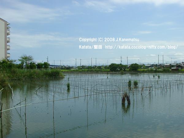 秋の晴天の下、稲刈り間近の田んぼと堅田内湖