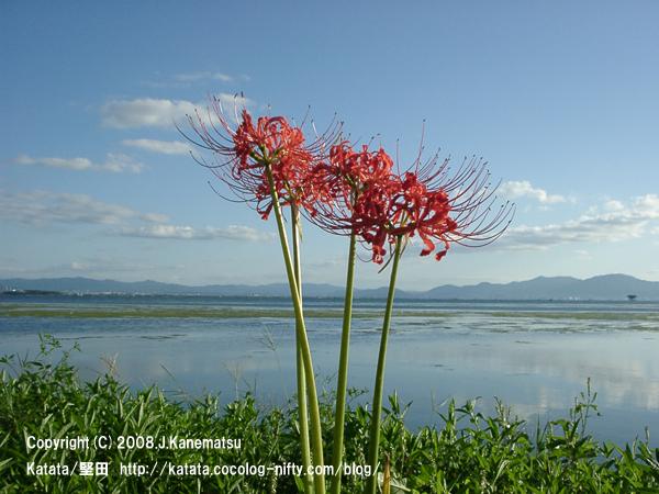琵琶湖畔のヒガンバナ