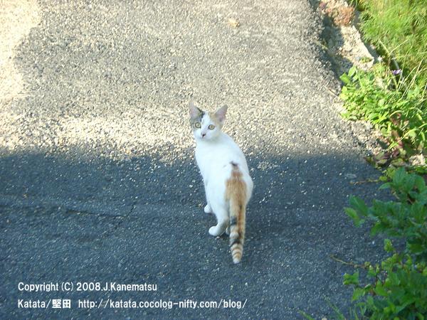 こちらを見ている三毛ネコ