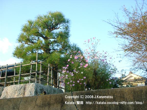 石垣の上の民家。庭の松の木と、家の周りのコスモス。紅葉した桜の木。