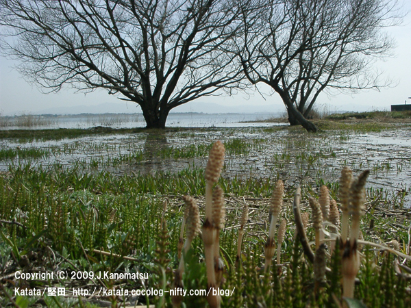 琵琶湖の水辺の木々とツクシ