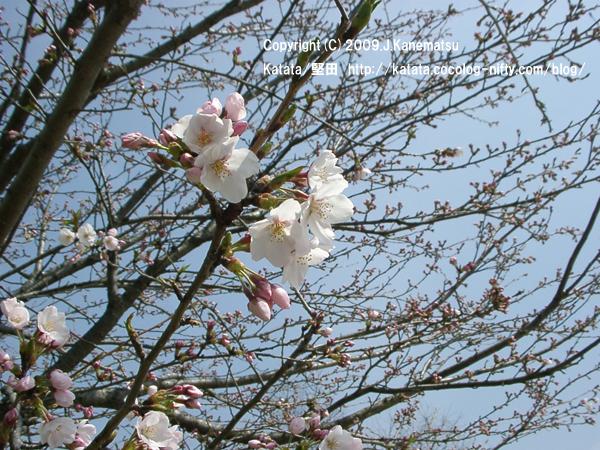 桜の咲き始め