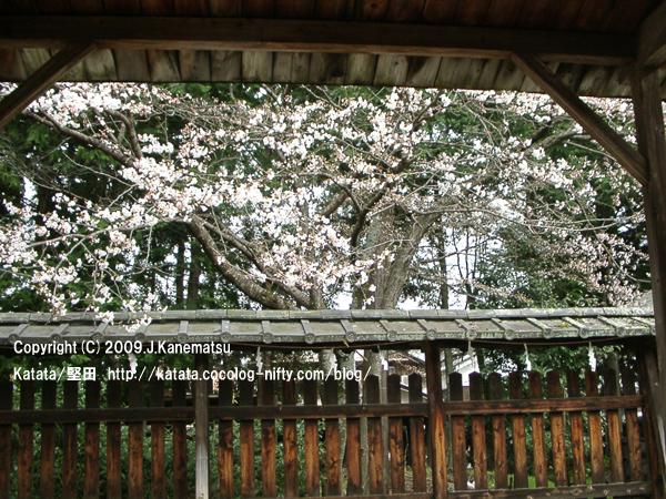 伊豆神社本殿の桜
