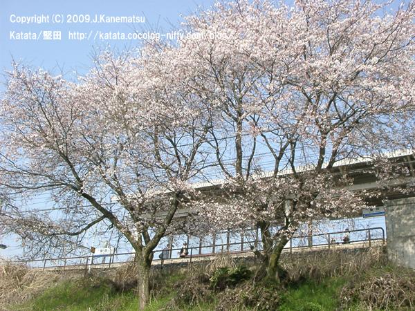 堅田駅の桜