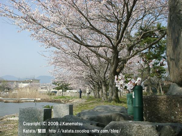 琵琶湖畔の桜