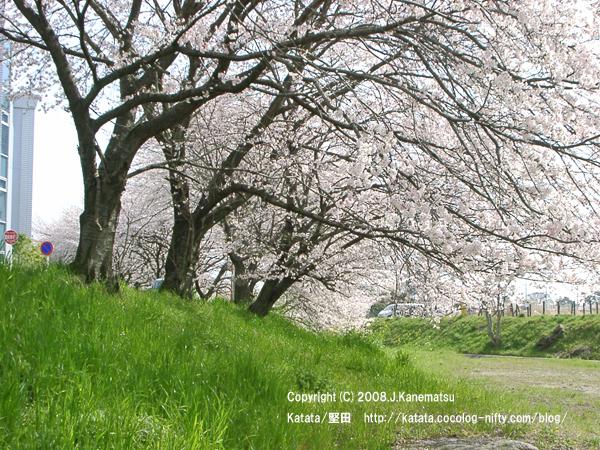 真野川の桜