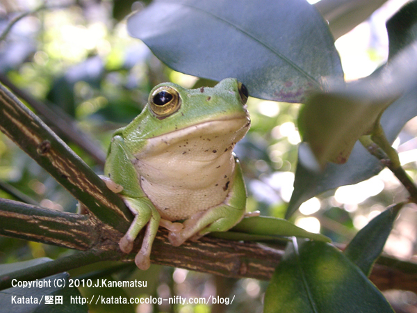 シュレーゲルアオガエル Schlegel's green tree frog