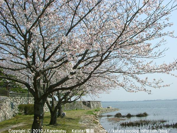 琵琶湖の畔で咲く桜
