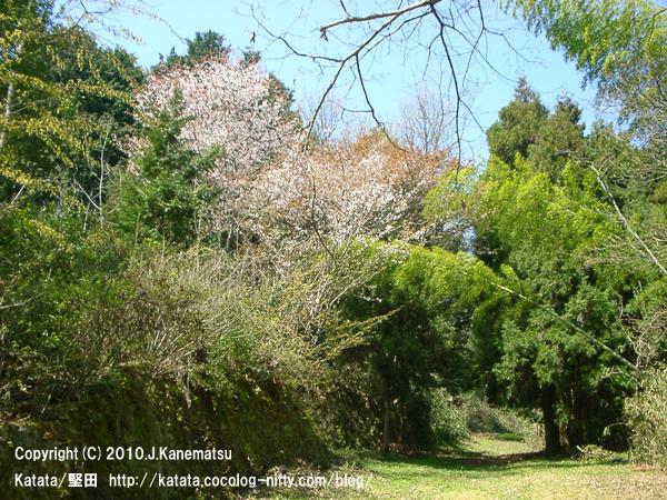 山桜、春日山古墳群へ続く道にて