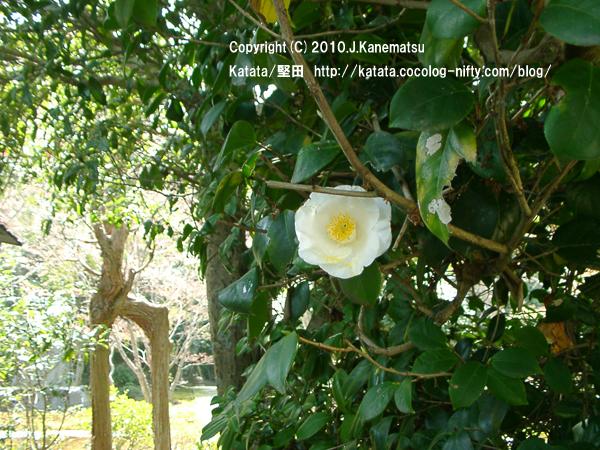 祥瑞寺の白い椿