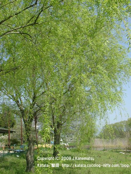 柳の新緑(琵琶湖畔・今堅田から)