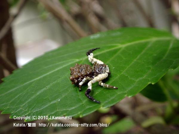 アジサイの葉の上にいるカトウツケオグモ