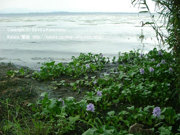 琵琶湖の水辺で咲く、ホテイアオイの花