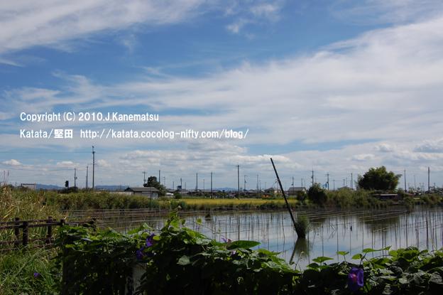 紫色のアサガオ、淡水真珠の養殖用の柵、対岸には黄金色の田んぼ
