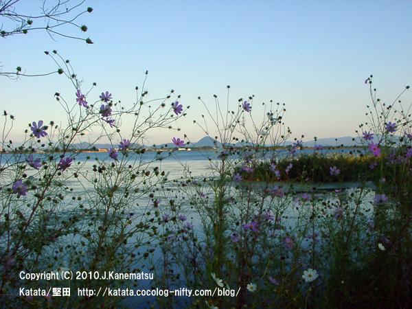 コスモスの花、琵琶湖の向こうに近江富士