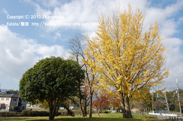 天神川の遊歩道、大きなイチョウの木