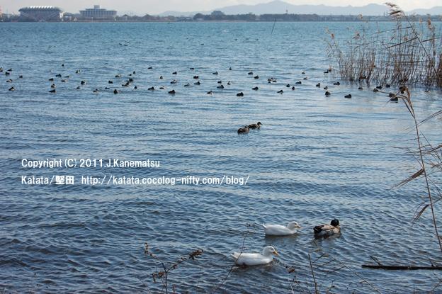 アヒルと合鴨と、琵琶湖の水鳥たち