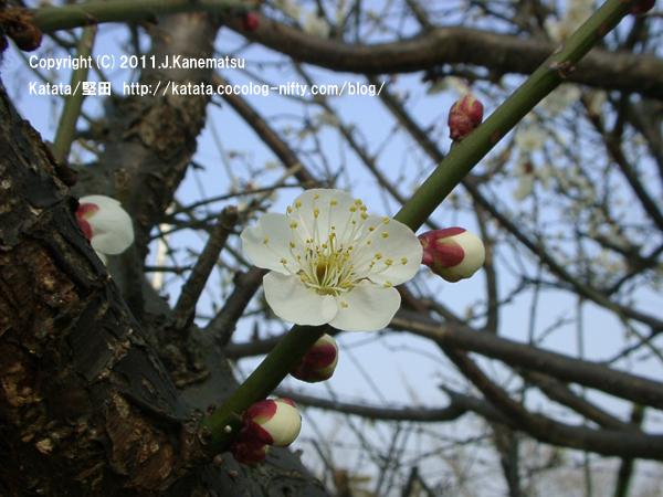 琵琶湖岸の梅の花(堅田なぎさ苑前にて)